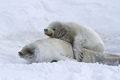 Male and female crabeater seals Stock Photos