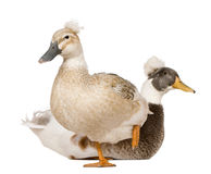 Male and Female Crested Duck, 3 years old Royalty Free Stock Image