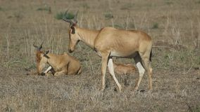 Male, female and cub Coke's Hartebeest resting on a hot day in the savannah stock footage