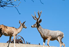 Male and female deer Royalty Free Stock Photo