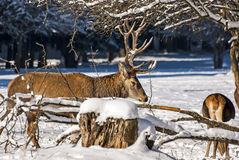 Male And Female Deer Stock Photography