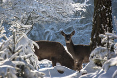 Male And Female Deer Stock Photo