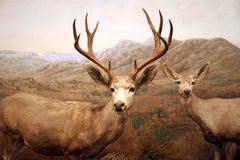 Male and Female Deer. Stuffed male and female deer are part of a diorama at the Dallas Nature and Science Museum Stock Photography