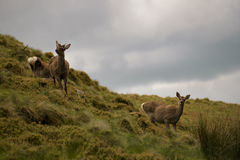 Male and female deer are wary in the field. Walking the wicklow way I saw a lot of deers, this was a bigger herd Royalty Free Stock Image