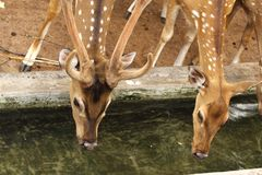 Male and female deers Stock Photography