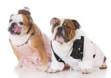 Male and female dog couple. Wearing clothing on white background Stock Photo