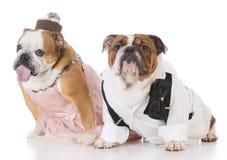 Male and female dog couple. Wearing clothing on white background Stock Image