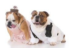 Male and female dog couple. Wearing clothing on white background Stock Images