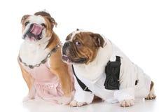 Male and female dog couple. Wearing clothing on white background Royalty Free Stock Photography