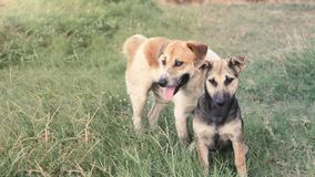 Male and female dogs look at the camera with dyes on the lawn in Thailand. royalty free stock photography