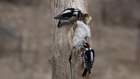 Male and female Downy woodpeckers (Picoides pubescens) eating suet on a tree stump stock footage