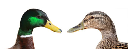 Male and Female Duck Royalty Free Stock Photography