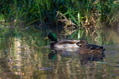 Male and female duck swimming by. A male and a female duck/mallard quietly swimming by in a river Royalty Free Stock Photos