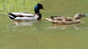 Male and female ducks. On pond stock footage