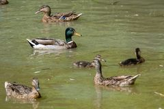 Male and female ducks. On pond Stock Photography