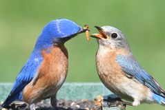 Male and Female Eastern Bluebird Stock Photo