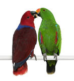 Male and Female Eclectus Parrots Royalty Free Stock Photography