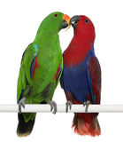 Male and Female Eclectus Parrots royalty free stock photo