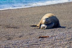 Male and female elephant seal in Valdes peninsula. Male and female elephant seal on the beach of Valdes peninsula national park, Patagonia, Argentina Stock Photos