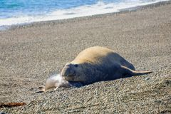 Male and female elephant seal in Valdes peninsula. Male and female elephant seal on the beach of Valdes peninsula national park, Patagonia, Argentina Stock Images