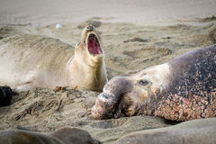 Male and Female Elephant Seals, California Royalty Free Stock Image