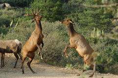 Male and Female Elk royalty free stock photo