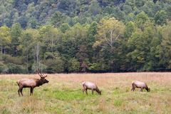 Male and Female Elk. Walking in the Field in the mountains stock image