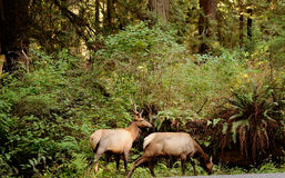 Male and Female Elk in Forest Stock Photography