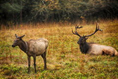 Male And Female Elk Smoky Mountains North Carolina. Male and female elk during rut season in Cataloochee Valley Smoky Mountains National Park North Carolina Royalty Free Stock Images