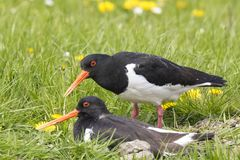Male and female Eurasian oystercatchers Haematopus ostralegus royalty free stock images