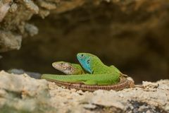 European green lizard or Lacerta viridis male and female. royalty free stock images