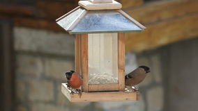 Male, female and fledgling Bullfinch at a bird feeder stock video