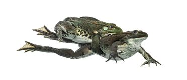 Male and female frog copulating, isolated Stock Images