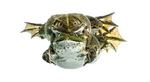 Male and female frog copulating, isolated Royalty Free Stock Photos