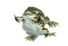Male and female frog copulating, isolated Stock Photography