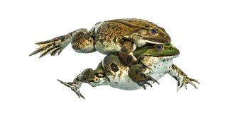 Male and female frog copulating, isolated Stock Image