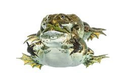 Male and female frog copulating, isolated Stock Photos