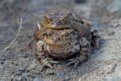 Male and Female Frog Mating Stock Images