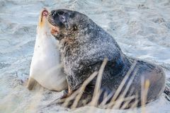 Australasian fur seal frolicking on the beach and in the ocean, Otago, New Zealand. Male and female fur seals being romantic on the beach of Otago, New Zealand Royalty Free Stock Images