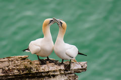 Male and female gannet courting Stock Image