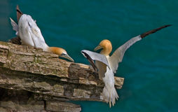 Male and female Gannets. Male and female Northern Gannets get together during the mating season Stock Image