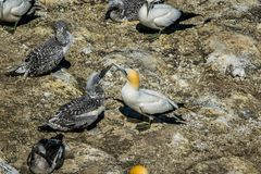 Male and female gannets stock images