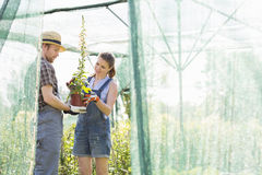 Male and female gardeners discussing over potted plant at greenhouse Stock Photo