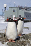 Male and female Gentoo penguins at the nest on the background of Royalty Free Stock Photos