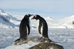 Male and female Gentoo penguins on the slope. Royalty Free Stock Photos