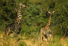 Male and Female Giraffe Stock Photos