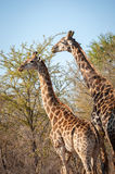 Male and female giraffe eating Stock Photos