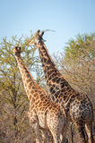 Male and female giraffe eating Royalty Free Stock Photos