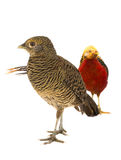 Male and female gold pheasants Royalty Free Stock Images