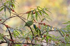 Male and female Golden-naped Barbet bird feeding on Orange wild. Male and female Golden-naped Barbet bird in green azure blue feeding on Orange wild Rhea tree at Stock Photo